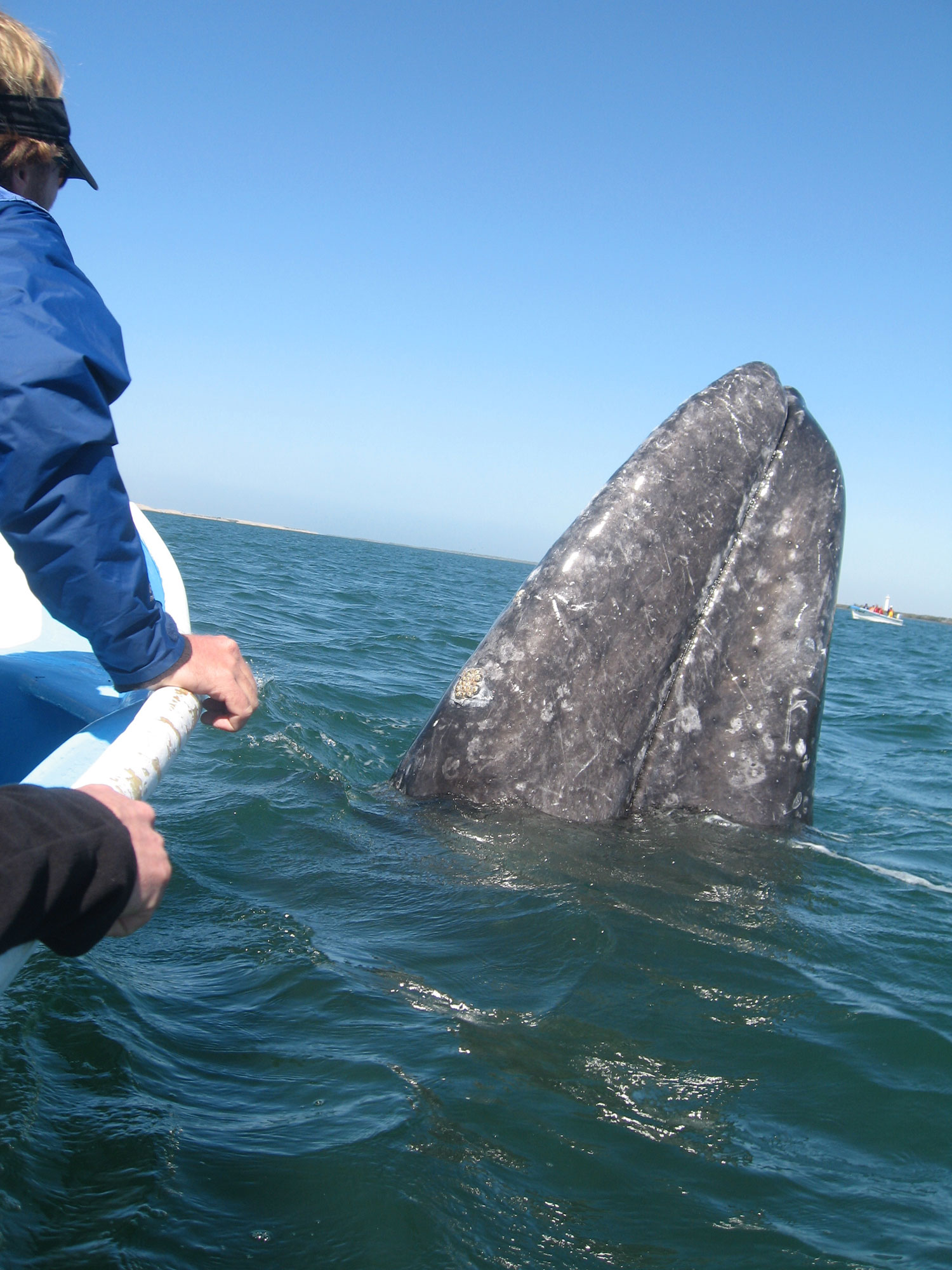 Friendly Grey whale in Baja