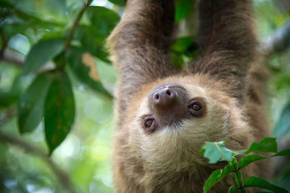 Sloth in the Costa Rican jungle