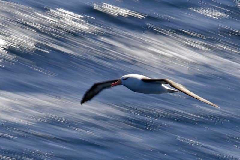 Jackie Freshfield's photograph of a Black-browed albatross