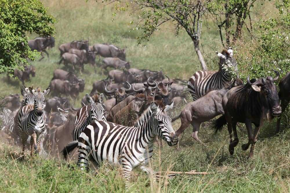 great migration zebra and wildebeest