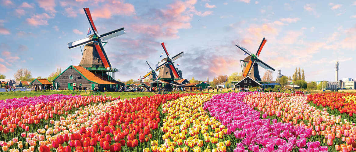 Iconic Dutch windmills and tulips