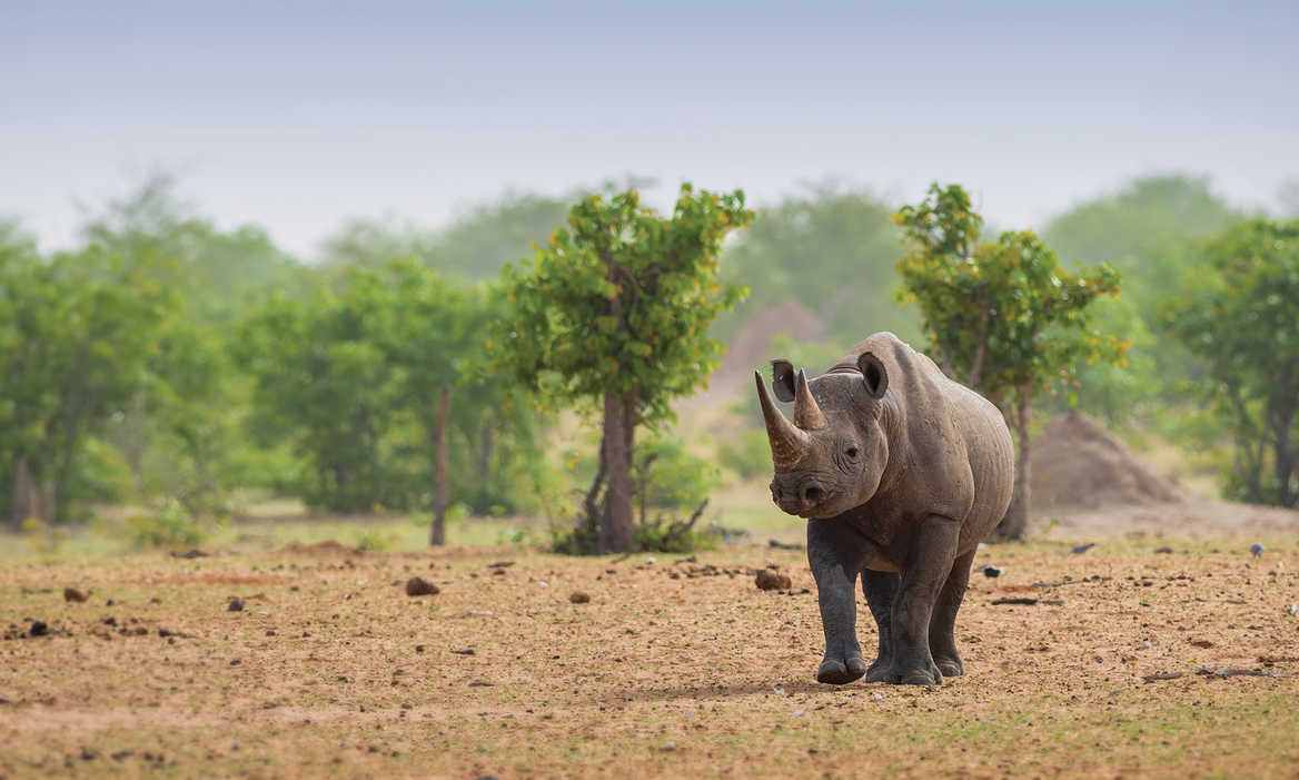 Rhinoceros walking