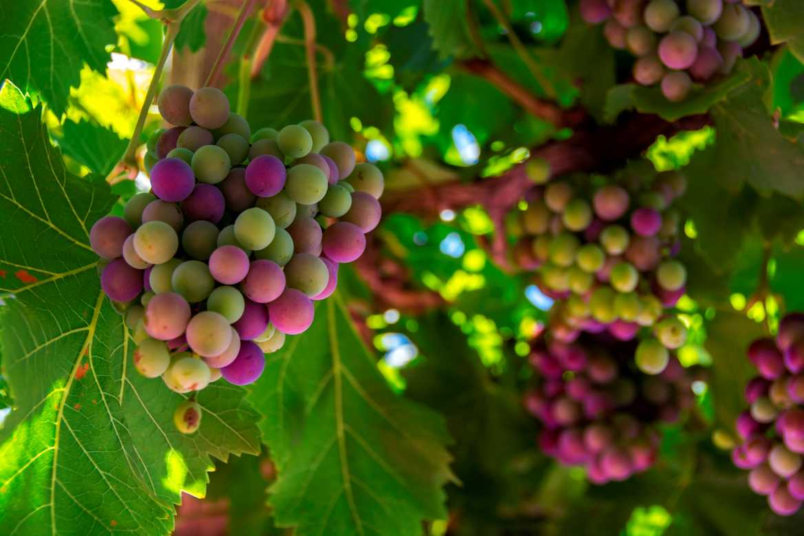 French grapes