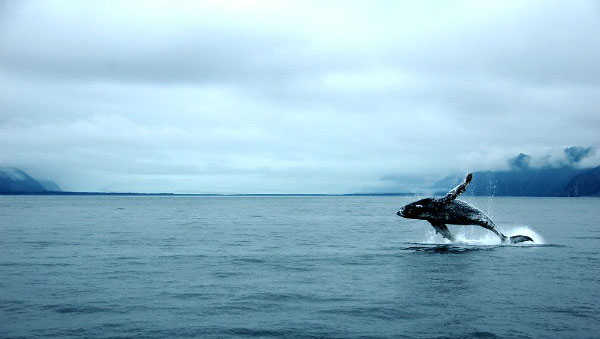 Whale Watching in Kenai Fjords