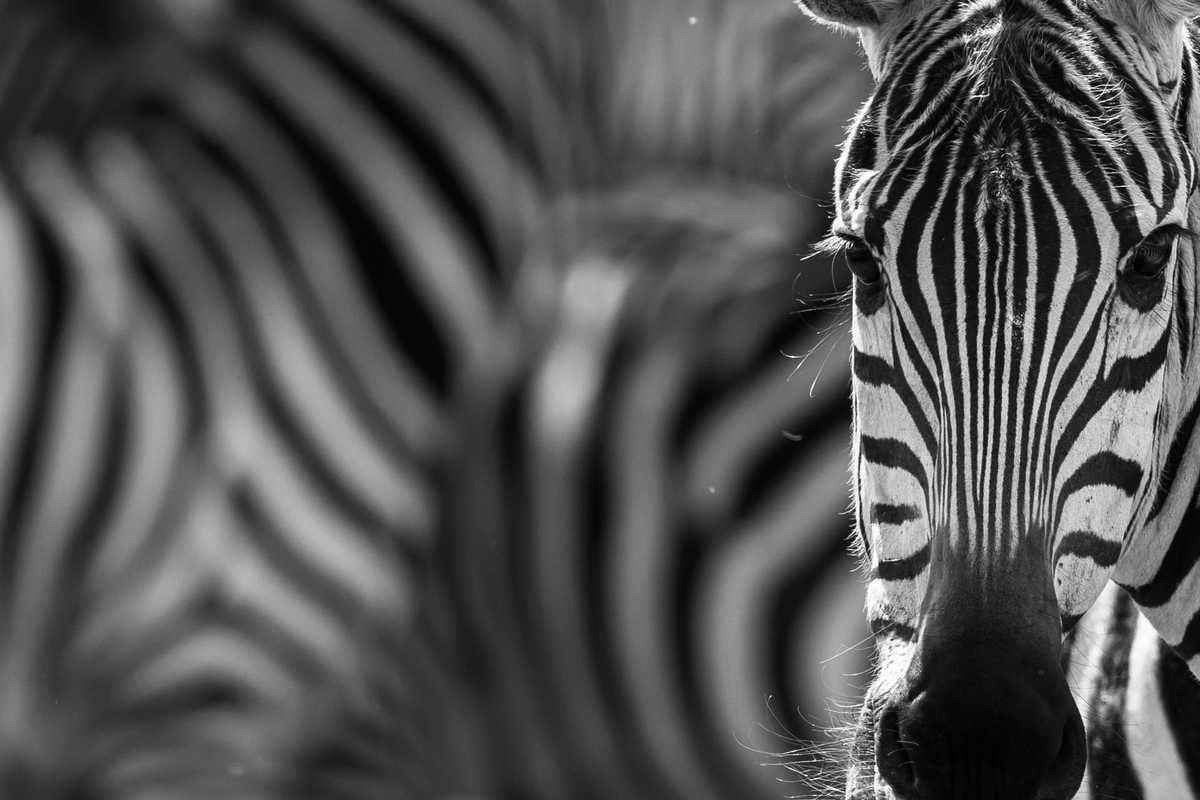 the wildlife news, in black and white. Mara north.