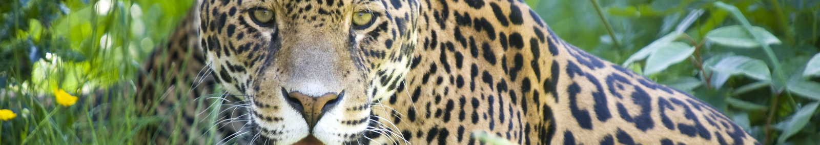 Close up of a Jaguar (Panthera onca) in forest