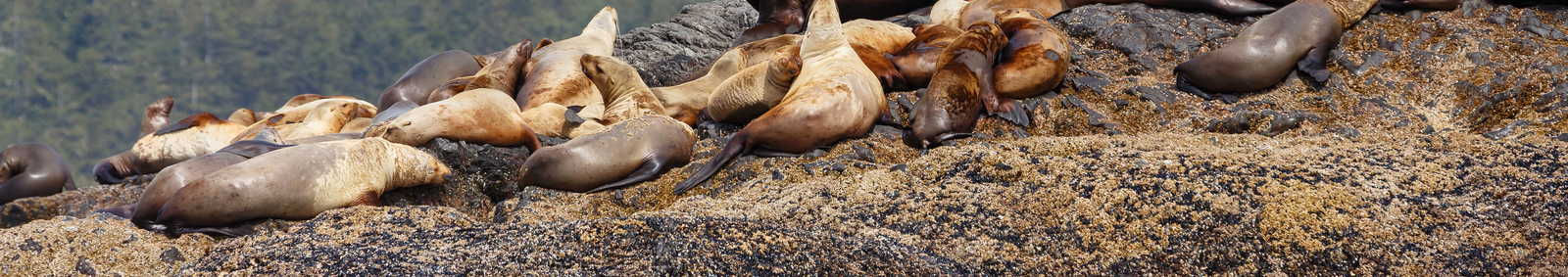 Vancouver Island sea lion
