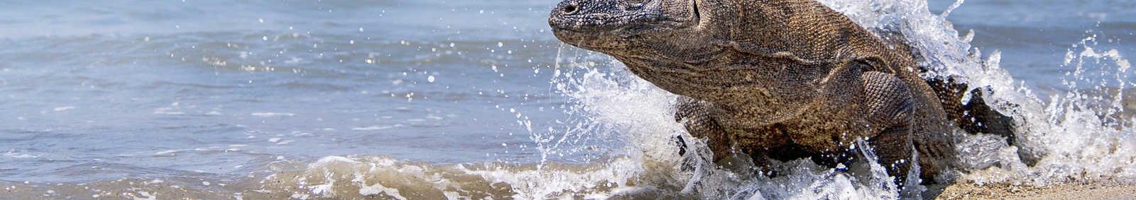 Komodo Dragon, Indonesia