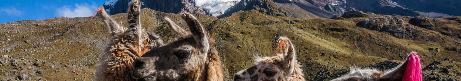Llamas in front of mountain range