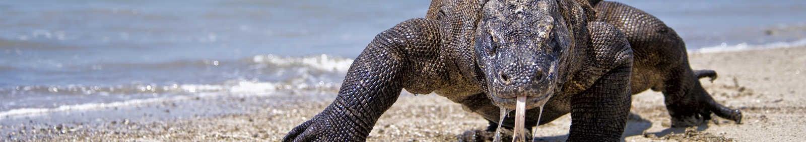 Komodo Dragon in Komodo Island National Park, Indonesia