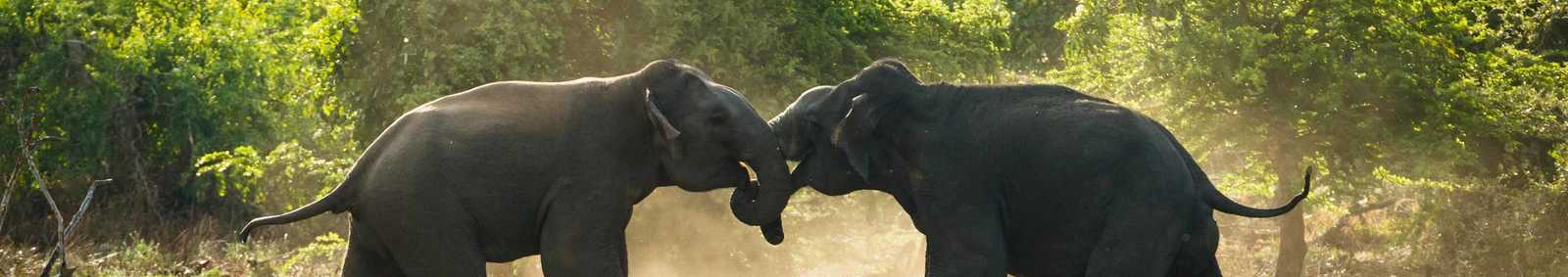 The dust flies as two male elephants do battle in Sri Lankas Yala National Park