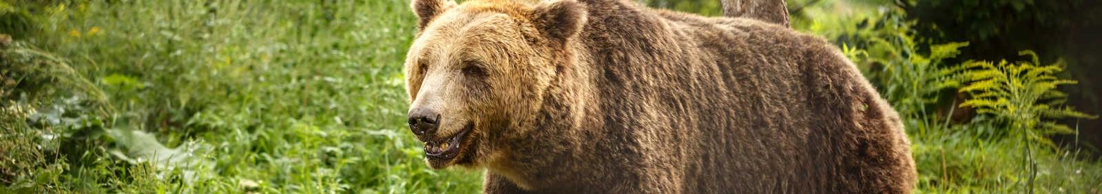 European brown bear walking in forest