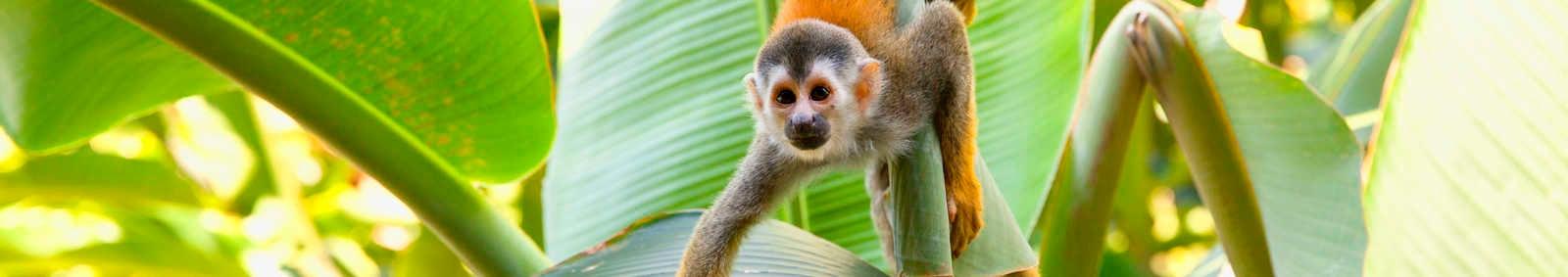 Squirrel Monkey on a palm leaf in Manuel Antonio, Costa Rica