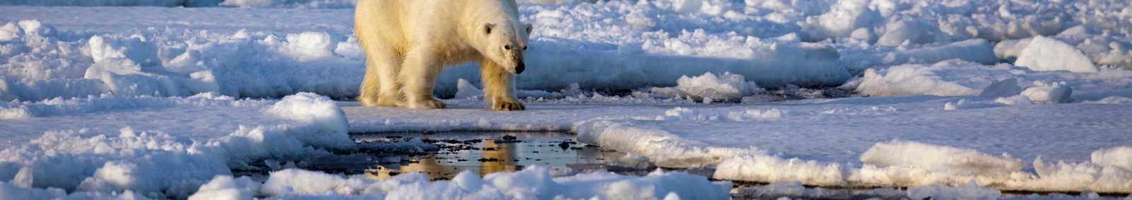 Spitsbergen polar bear