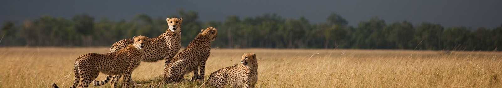 Cheetah's with storm on the horizon