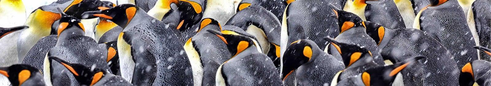 Polar Penguins