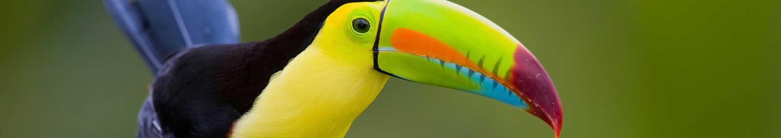 Toucan Nicaragua