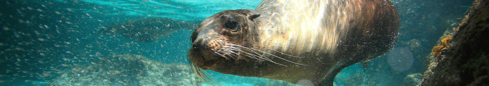 a swimming sea lion