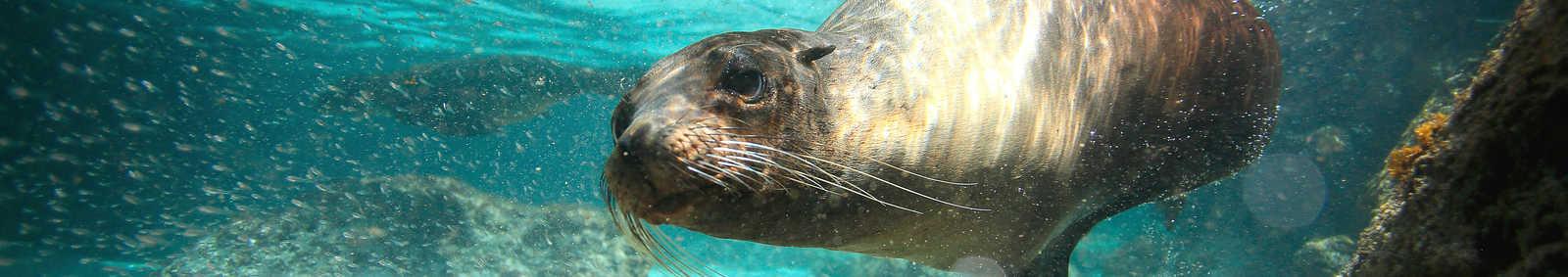 a swimming sea lion