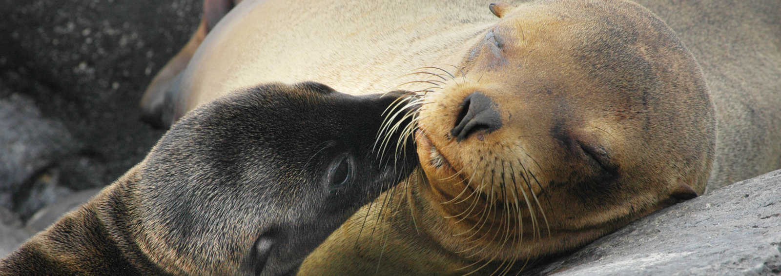 Sea lion mother and pup, Galapagos Islands