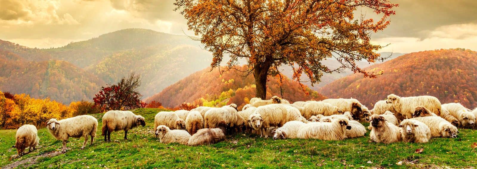 Flock of sheep in the Carpathian Mountains, Romania