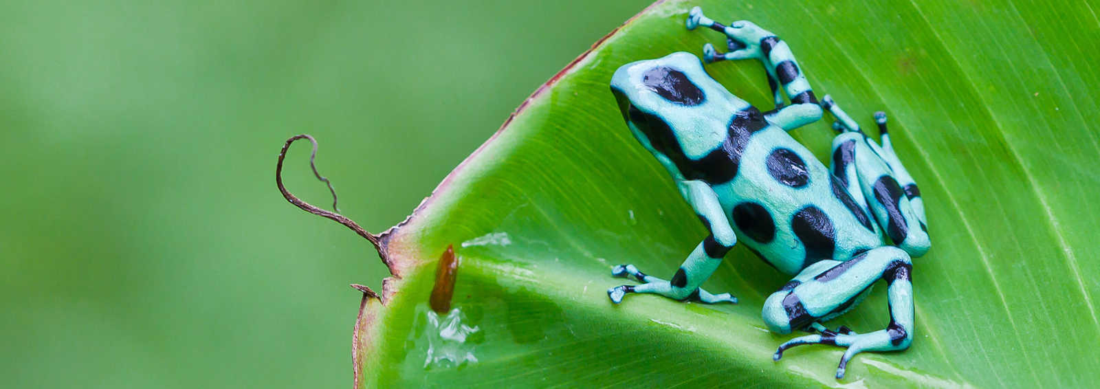 Green and Black Poison Dart Frog (Dendrobates auratus), Costa Rica