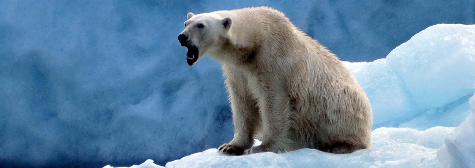 Bear in Spitsbergen