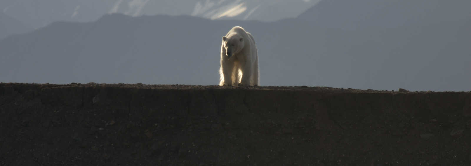 Polar bear, Spitsbergen (Svalbard), Norway