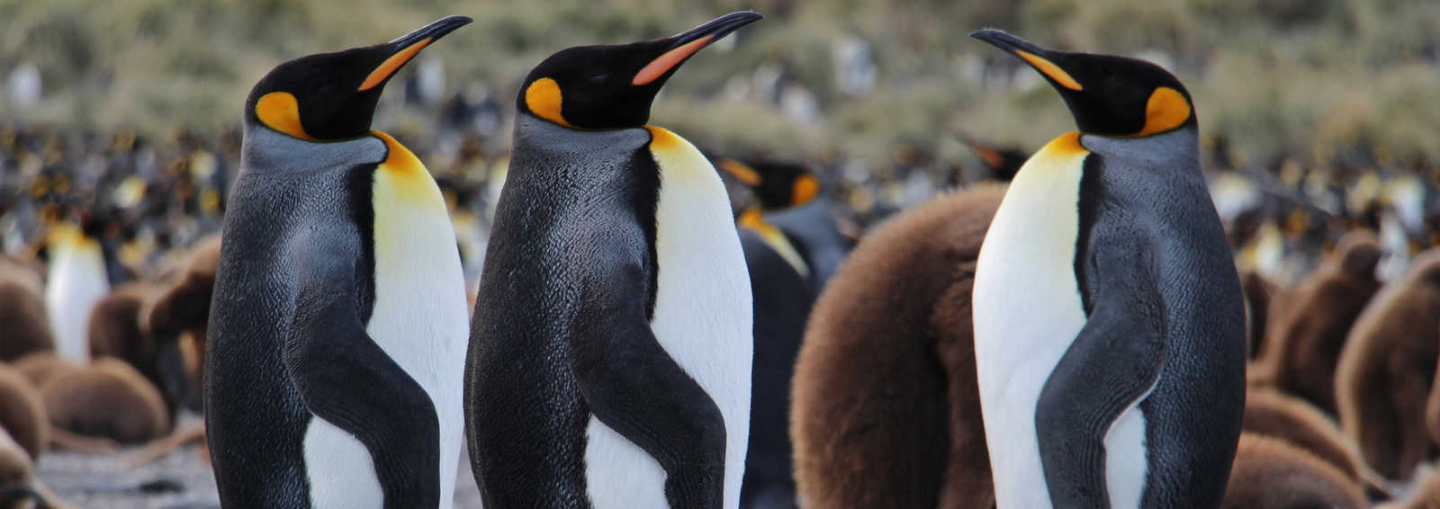 King penguins, Gold Harbour, South Georgia