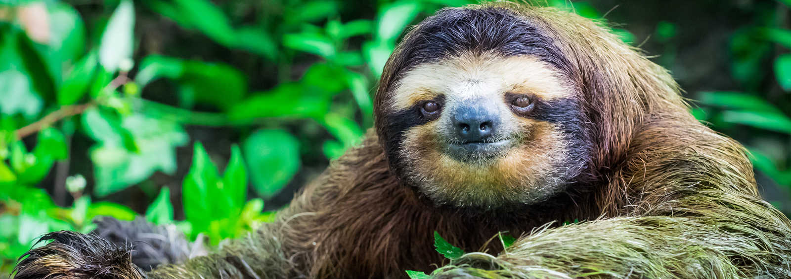 A sloth stops to pose for a photograph in Costa Rica.