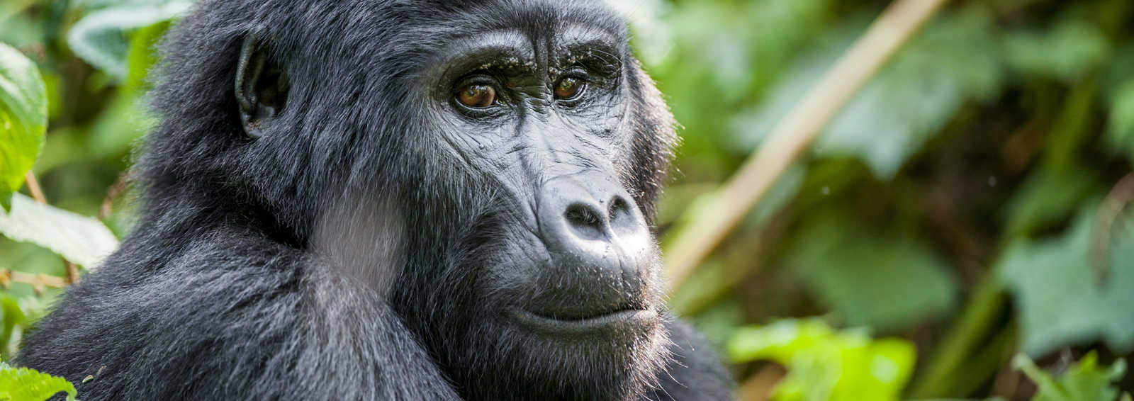 Close up portrait of a mountain gorilla (beringei beringei) at a short distance in natural habitat. Bwindi Impenetrable Forest National Park, Uganda.