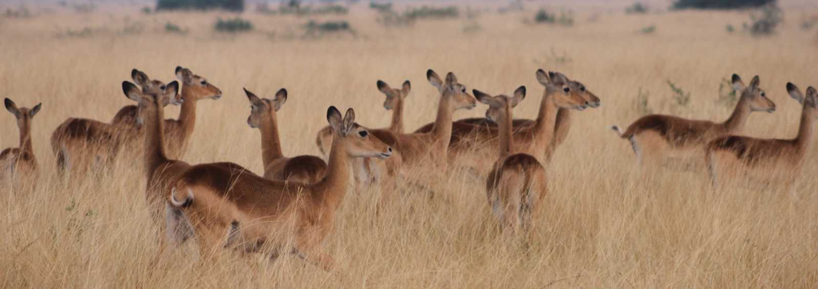 Part of a herd of kob in Queen Elizabeth National Park, Uganda