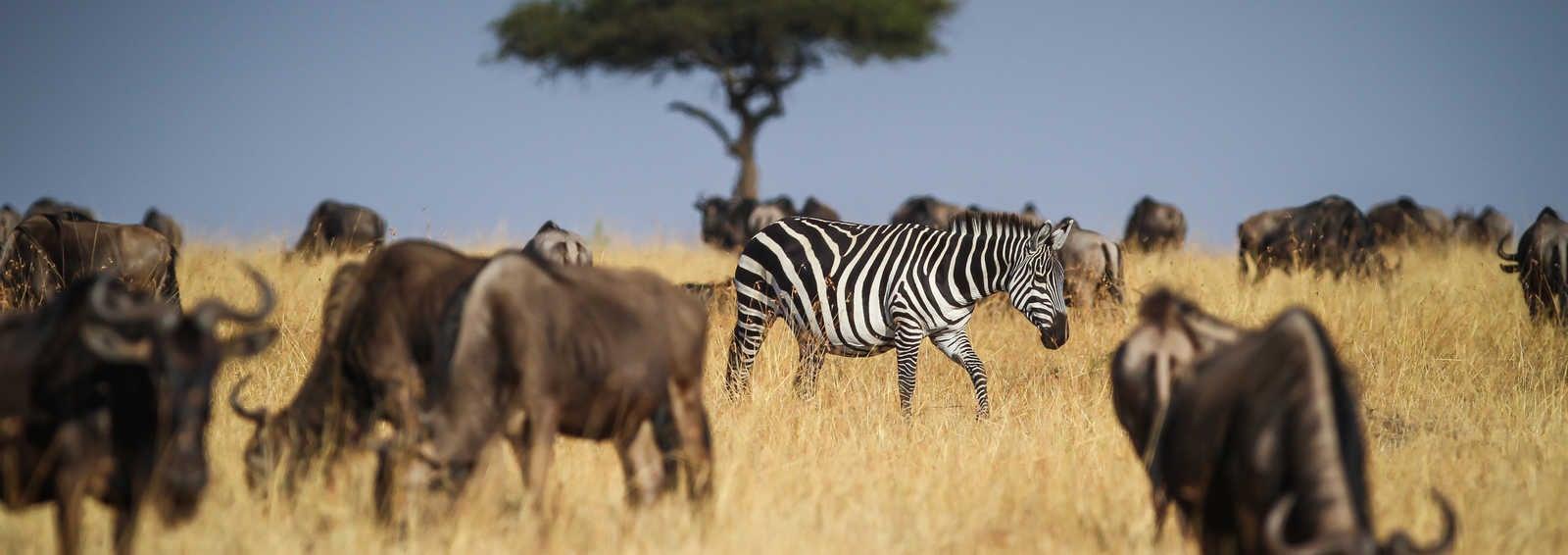 Lone Zebra, Masai Mara, Kenya