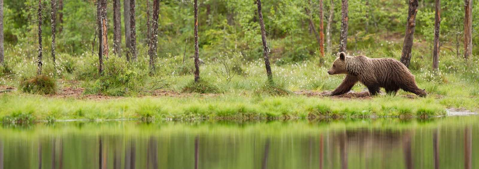 Young brown bear is walking by the shore. Finland
