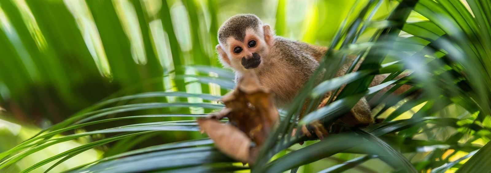 Squirrel Monkey in the Amazon Rainforest
