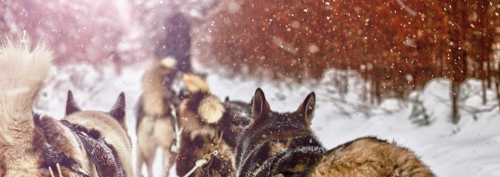 Winter Dog Sledding Norway
