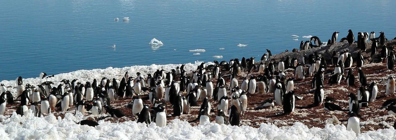 Antarctic penguin group