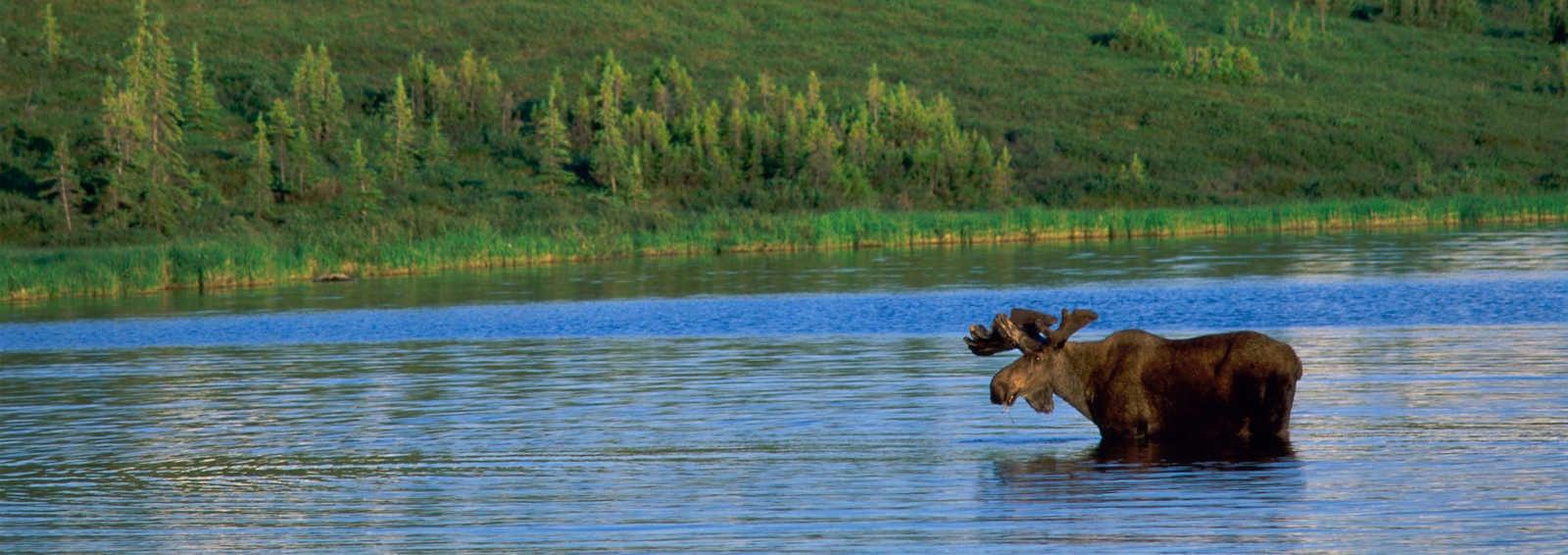 Moose, Wonder Lake, Denali National Park, Alaska, USA