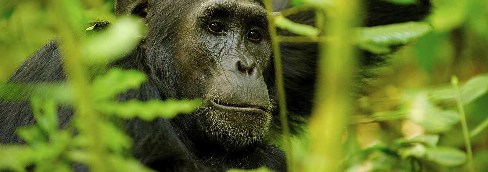 Chimpanzee in the jungle, Uganda