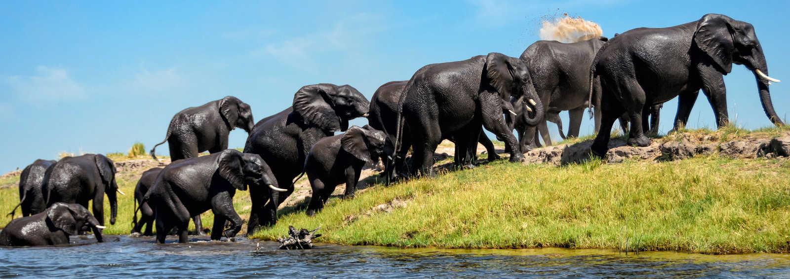 Elephants on a riverbank Chobe, N.P., Botswana