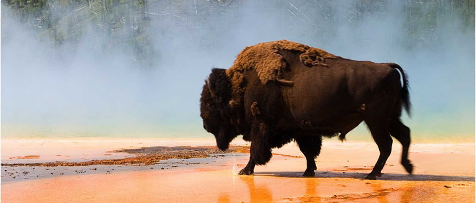 Buffalo in Yellowstone National Park, Wyoming, USA