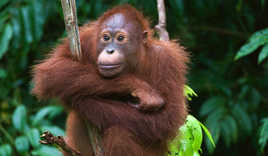 Indonesia, Borneo - Young Orangutan sitting on the tree, Malaysia