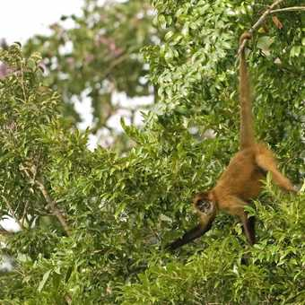 Brown spider monkey just showing off!