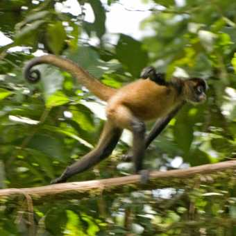 Brown spider monkey at Tortuguero, wanting to be Usain Bolt.