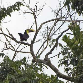 Keel billed toucan, I think, in the middle of a long squawk.