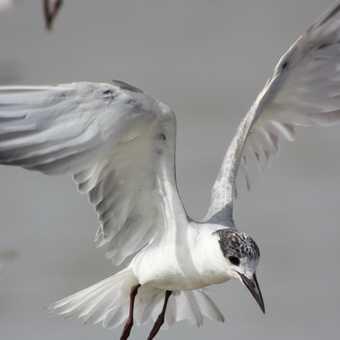Tern in Djoudj National Park