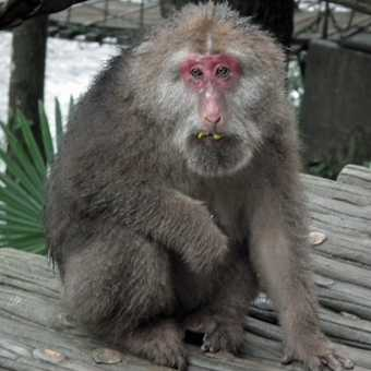 old monkey Mt Emei