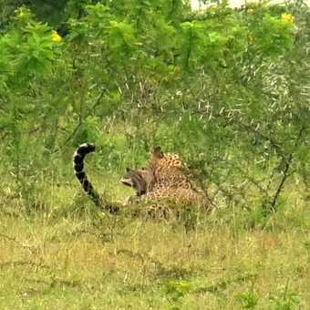 Leopard killing Golden Jackal
