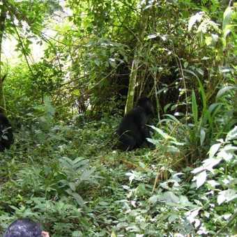 Gorillas Bwindi Impenetrable NP