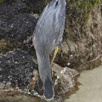 Striated Heron Fishing 1